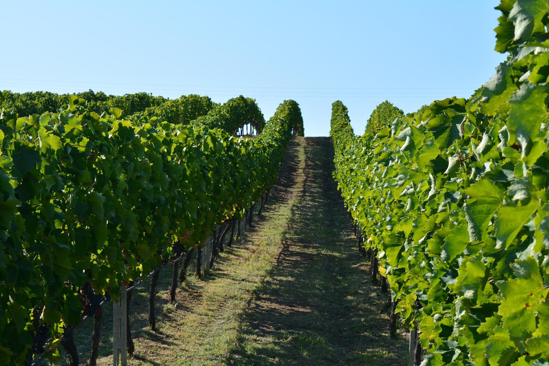 vineyard-1798049_1920.jpg